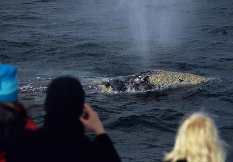 Gray Whale Eschrichtius robustus