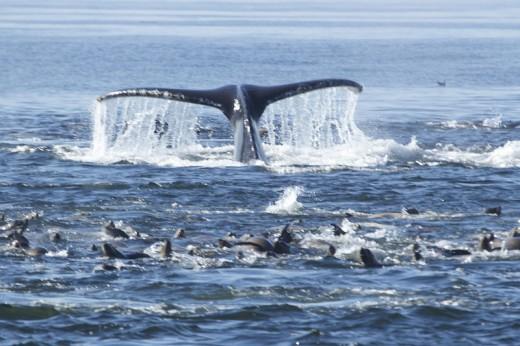 Humpback whale fluke and California Sea Lions feasting, Monterey Bay, November 2013. Photo: Jim Holtan