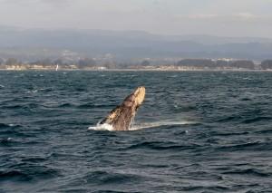 Gray whale, Santa Cruz Whale Watching, Monterey Bay. Photo: Teddy Daligga