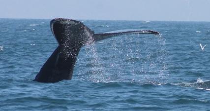 Humpback whale tail, Santa Cruz Whale Watching, Monterey Bay, CA. 9/14/14. Photo: Tina Hughes