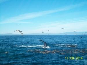 Whales, dolphins, humpbacks, Santa Cruz, Monterey, tours