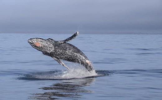 humpback whale breach monterey bay