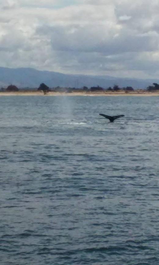 humpback whales monterey bay photo: joey stagnaro