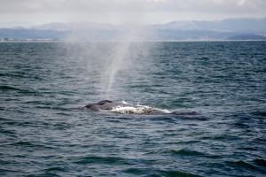 santa cruz whale watching humpback whales