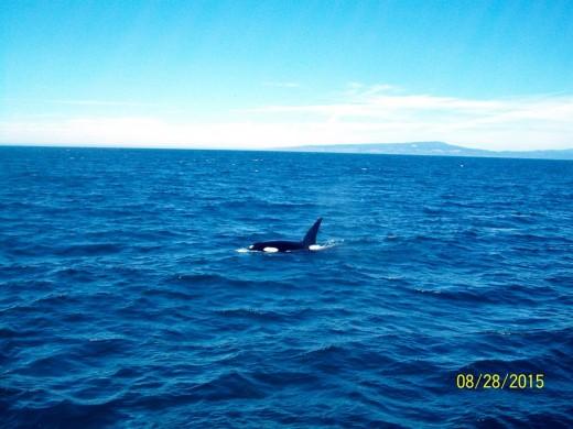 Orca Monterey Bay 8-28-15 Photo: Michael Nelson