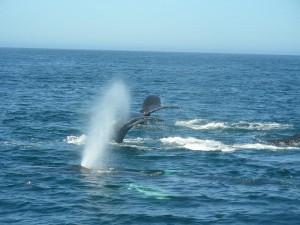 Santa Cruz Whale Watching 9-21-15 M.Reynolds 2