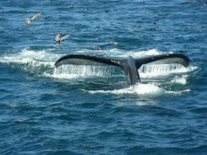 Santa Cruz Whale Watching 9-21-15 M.Reynolds 3