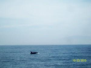 Orca, Monterey Bay 10-23-15