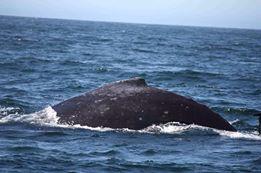 humpback.march16-2014.photo-JENN BYRD-ok to use verbal ok
