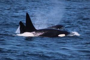 Wild Orca, Monterey Bay - April 13, 2016. Photo: Michael Nelson