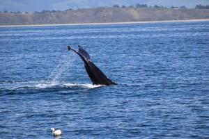 humpback whale monterey