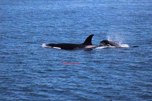 Monterey Bay Orca Santa Cruz Whale Watching