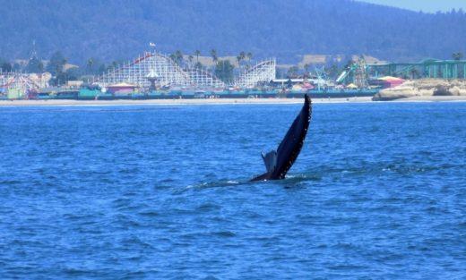 Humpback Whales, Santa Cruz, CA