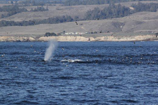 Humpback whales, Monterey Bay November