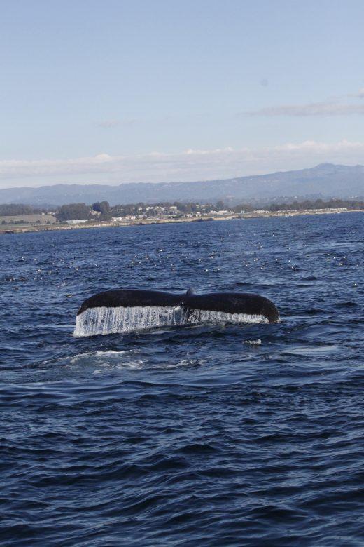 humpback monterey bay