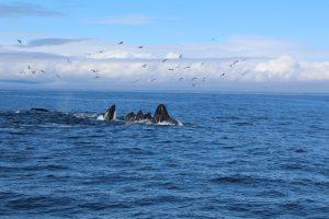 Lunge feeding humpback whales 10-28-16. photo: megan Petersen
