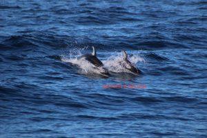 dolphins, santa cruz, monterey