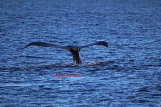 img_0340-dec-21-michael-nelson-humpback-whale-fluke-monterey-bay