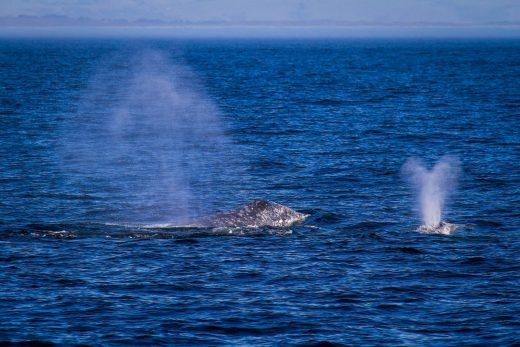gray whales monterey